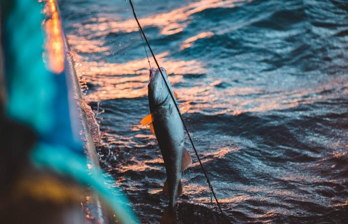 Исследование показало, что пойманная на крючок, а затем выпущенная рыба больше не может нормально питаться