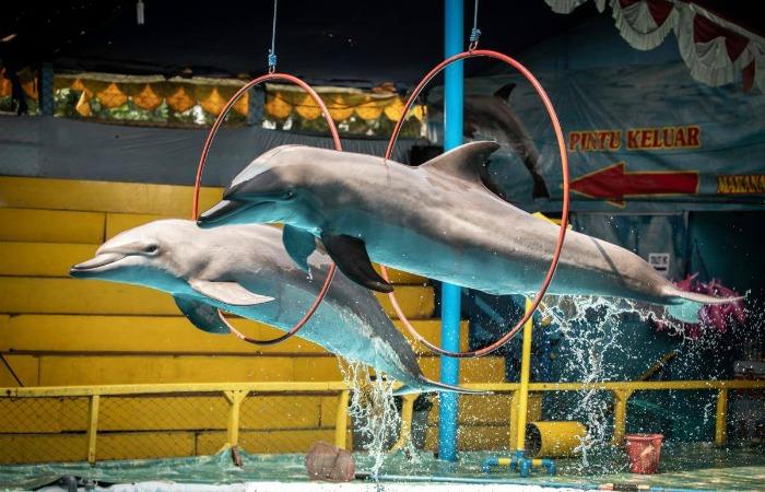 Индонезия запретила передвижные выступления самому жестокому в мире цирку дельфинов