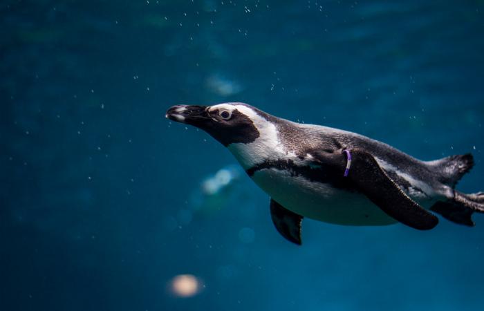 Речь пингвинов следует правилам человеческого языка