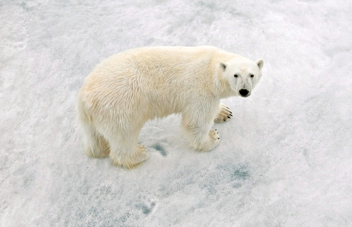 Полярные медведи вынуждены чаще прибегать к канибализму из-за деятельности человека