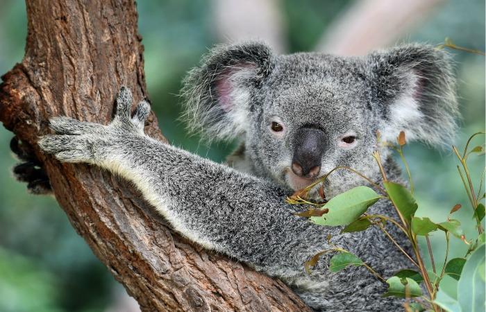 5 коал выпущены обратно в дикую природу после лесных пожаров в Австралии