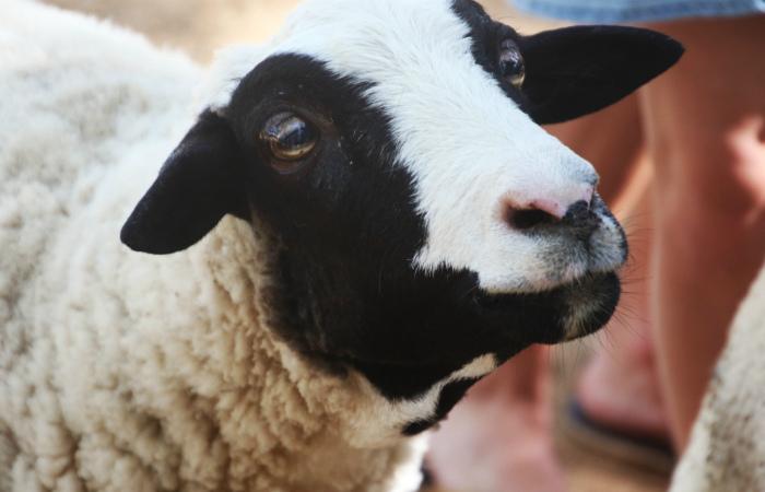 Внимание к глазам как фактор, определяющий уровень сочувствия к сельскохозяйственным животным
