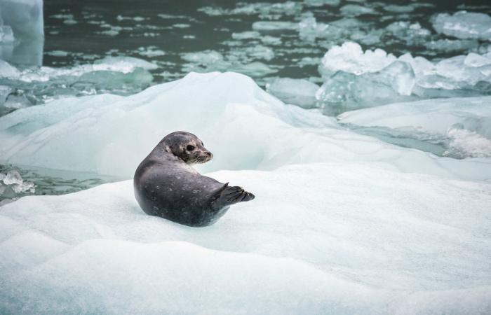 В Петербурге с дрейфующих льдин спасли 9 новорожденных нерпят: изменение климата разлучает малышей с родителями