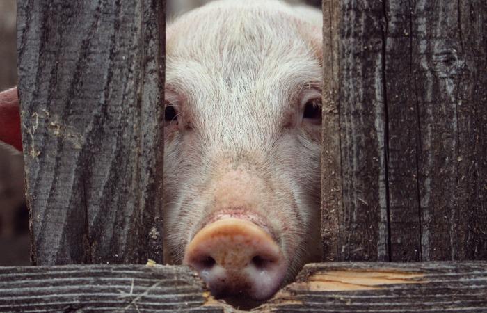 Предотвращение следующей пандемии следует начать с сокращения инвестиций в мясной сектор