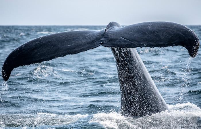 Исландский китобойный промысел почти окончен навсегда